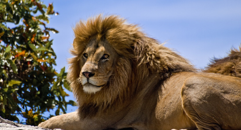 Obama petitioned: Cecil the lion killer may be sent back to Zim, face music
