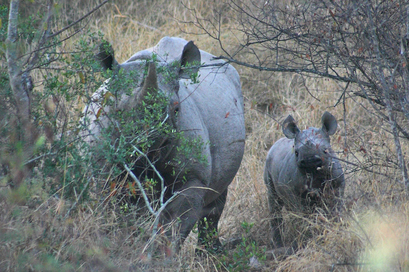 Rhino_mother_and calf