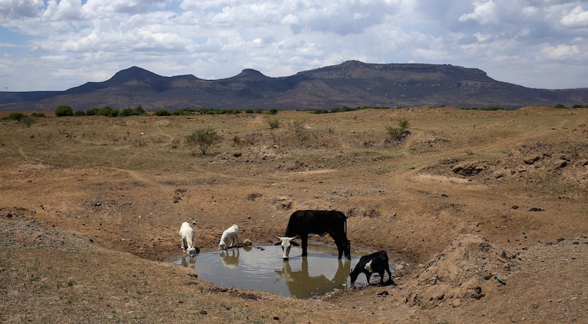Livestock drink from a drying river outside Utrecht, a small town in the northwest of KwaZulu-Natal, November 8, 2015. Cattle are the traditional asset by which Nampie Motloung, a subsistence black South African farmer, has long measured his wealth. But a blistering drought has made them a liability. Picture taken November 8, 2015. REUTERS/Siphiwe Sibeko