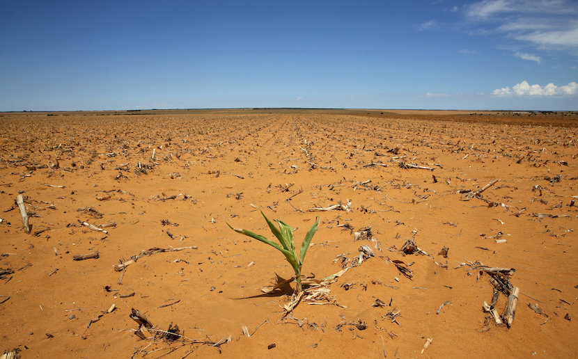 A maize plant is seen at a field in Hoopstad, a maize-producing district in the Free State province, South Africa, in this January 13, 2016 file photo. South Africa will likely harvest 7.255 million tonnes of maize in 2016, 27 percent less than the 9.95 million tonnes reaped last year because of a scorching drought and late plantings, a government agency said on February 25, 2016. REUTERS/Siphiwe Sibeko/Files