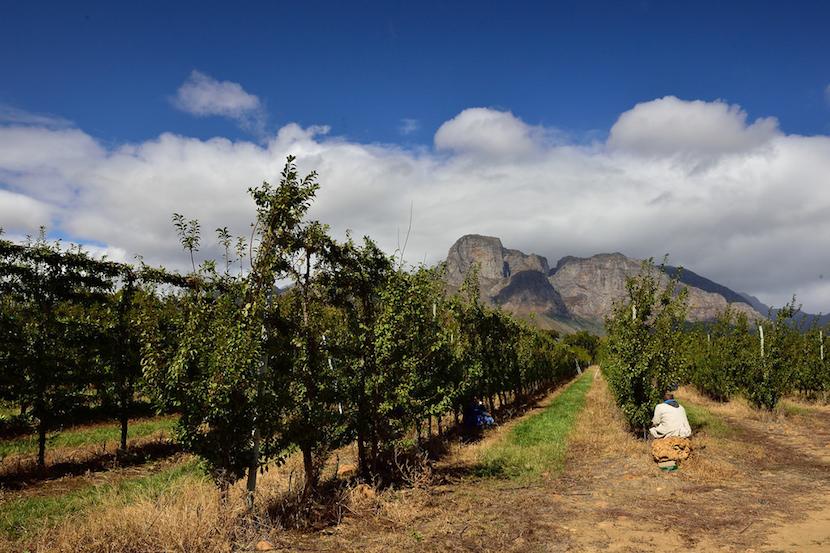 fruit_farms_Western_Cape