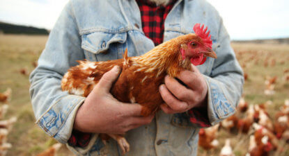 The predatory 14% that is slowly killing SA's chicken industry