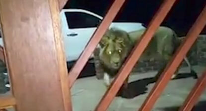 WATCH 'n boer maak 'n plan: Farmer swaps guard dog for a guard lion!