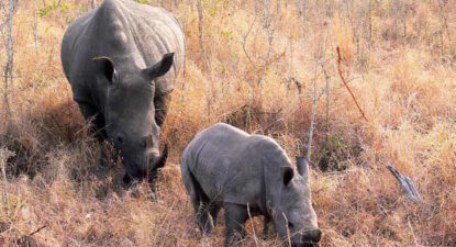 China has changed its mind about rhinos… again