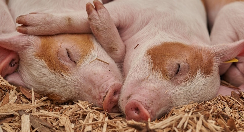 Farming with Pigs in South Africa