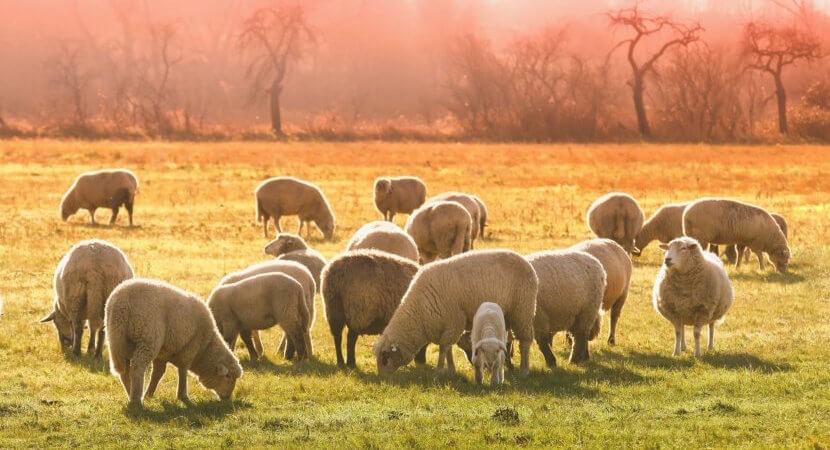 New Zealand is trying to breed less-gassy sheep… to fight climate change