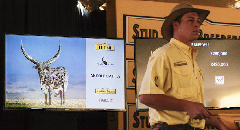 Selling costly bulls with his land guarantees, no irony for Cyril
