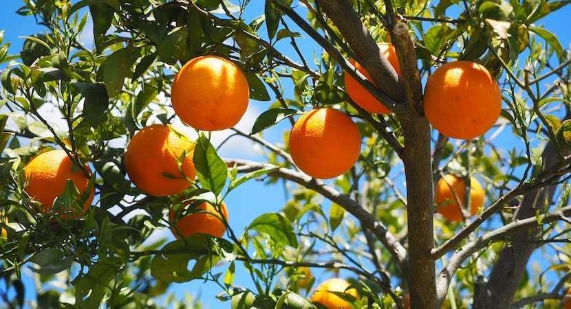citrus, oranges