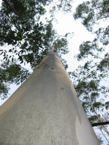 Typical commercially planted eucalyptus tree.