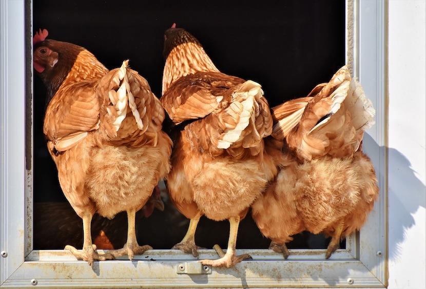 chicken imports