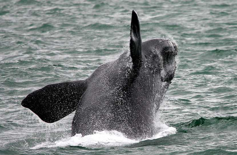 Southern right whale, Hermanus, Cape Town